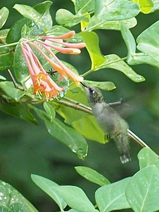 hummingbird on Lonicera sempervirens.jpg