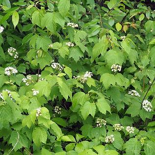 Viburnum acerifolium.jpg