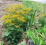 Packera aurea (Golden Ragwort)