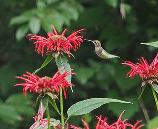 hummingbird and Monarda didyma 3.jpg
