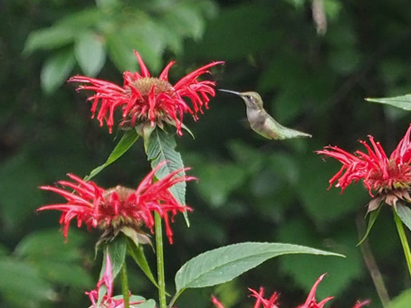 Making friends with the hummingbirds