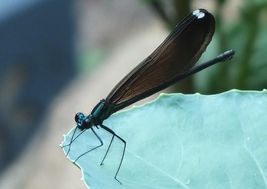 Female ebony jewelwing damselfly