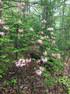 Pinxter Azalia (Rhododendron periclymenoides)