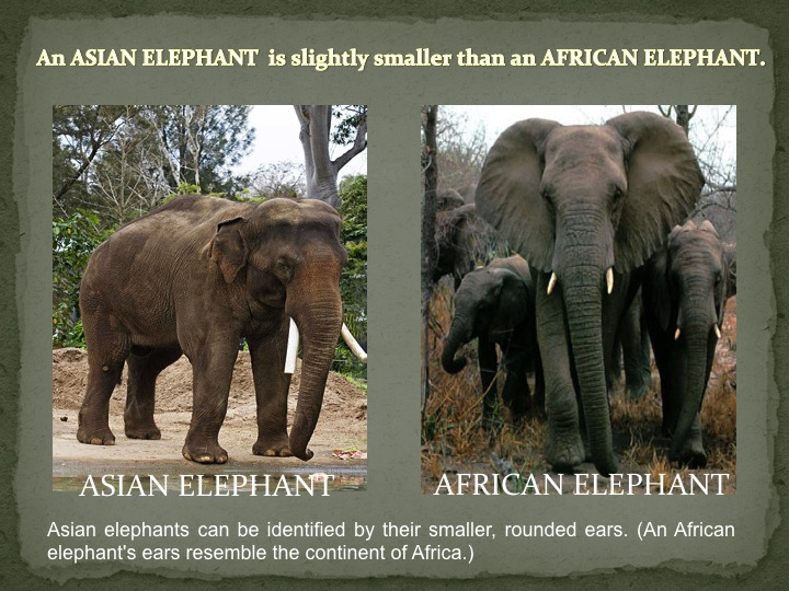 Asian Elephant vs African Elephant