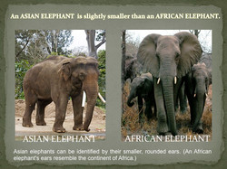 Asian Elephant vs African Elephant