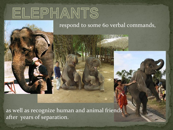 Elephants respond to some 60 verbal commands
