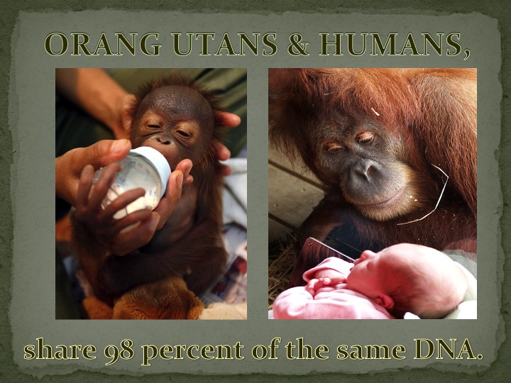 Orangutans & Humans share 98 percent of the same DNA