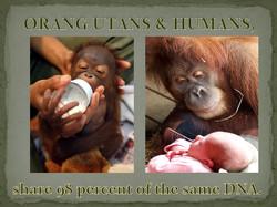 Orangutans & Humans share 98 percent of the same DNA