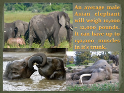an average male Asian elephant will weigh 10 - 12 thousand pounds.