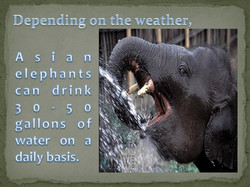 Asian elephants can drink 30-50 gallons of water on a daily basis