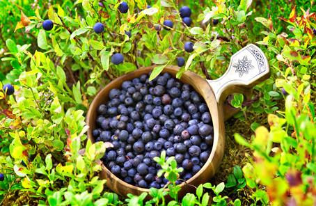 去丹麦吃生蚝热刚过 芬兰又邀中国人帮吃野莓