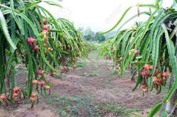 Plants de fruit du dragon à maturité