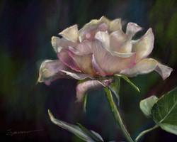 Morning Bloom (tea rose)