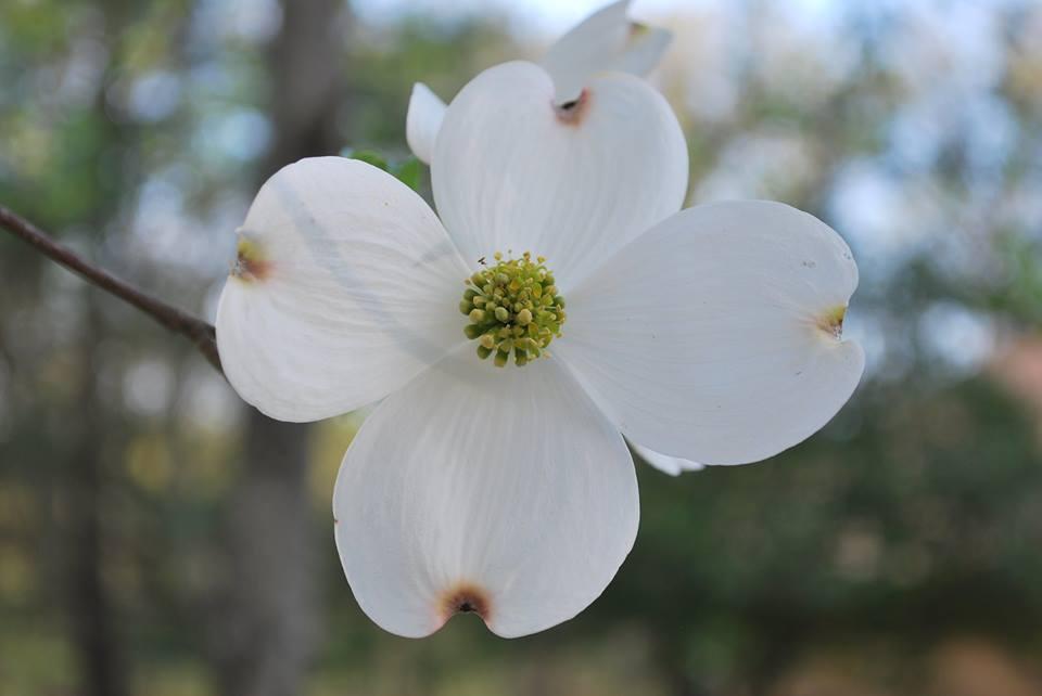 dogwoodflower.jpg