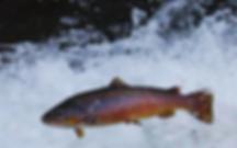 Fish Colorado River