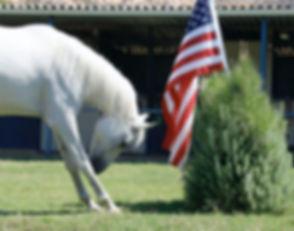 horse-bowing-american-flag.jpg