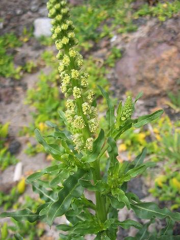 Reseda_luteola_(Flowers).jpg