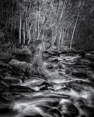 Bishop Creek Aspens