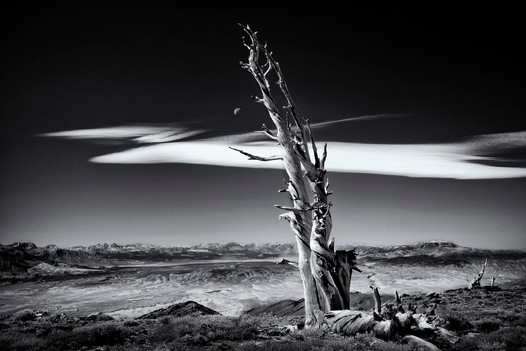 Bristlecone Moon