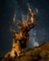 Ancient Bristlecone Pine tree at night u