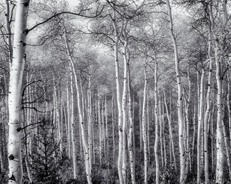 Aspen grove stripped of leaves after a blustery autumn storm, Grand Tetons National Park, WY
