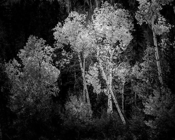 Backlit Aspens, Grand Tetons National Pa