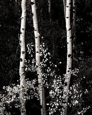 Tetons Aspen #1