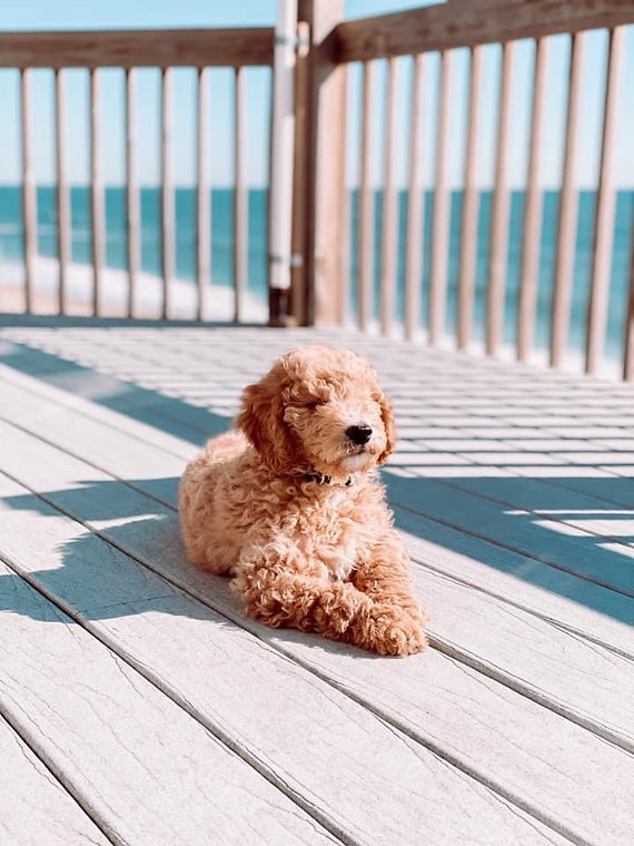 Goldendoodle maltipoo puppy for saleG