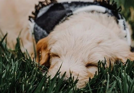 Goldendoodle Puppy adorable puppy for sale