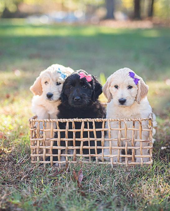 Goldendoodle maltipoo puppy for sale6.JPG