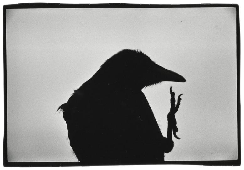 ravens020-s-.jpeg
