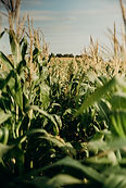 photo-of-cornfield-3066814.jpg