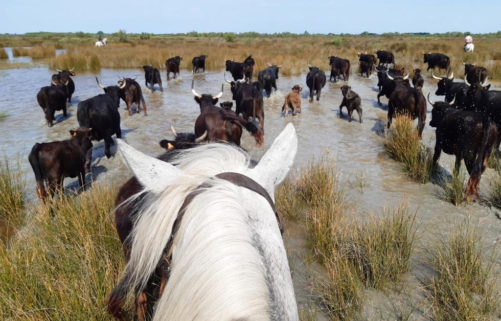 A cheval dans les taureaux Camargue
