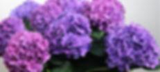 Hydrangea-Rodeo-purple-1.jpg