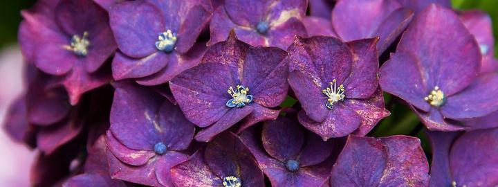 purple-hydrangea.jpg