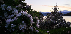Fruit district of Norway appelblossom
