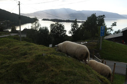 Sheep in Herand