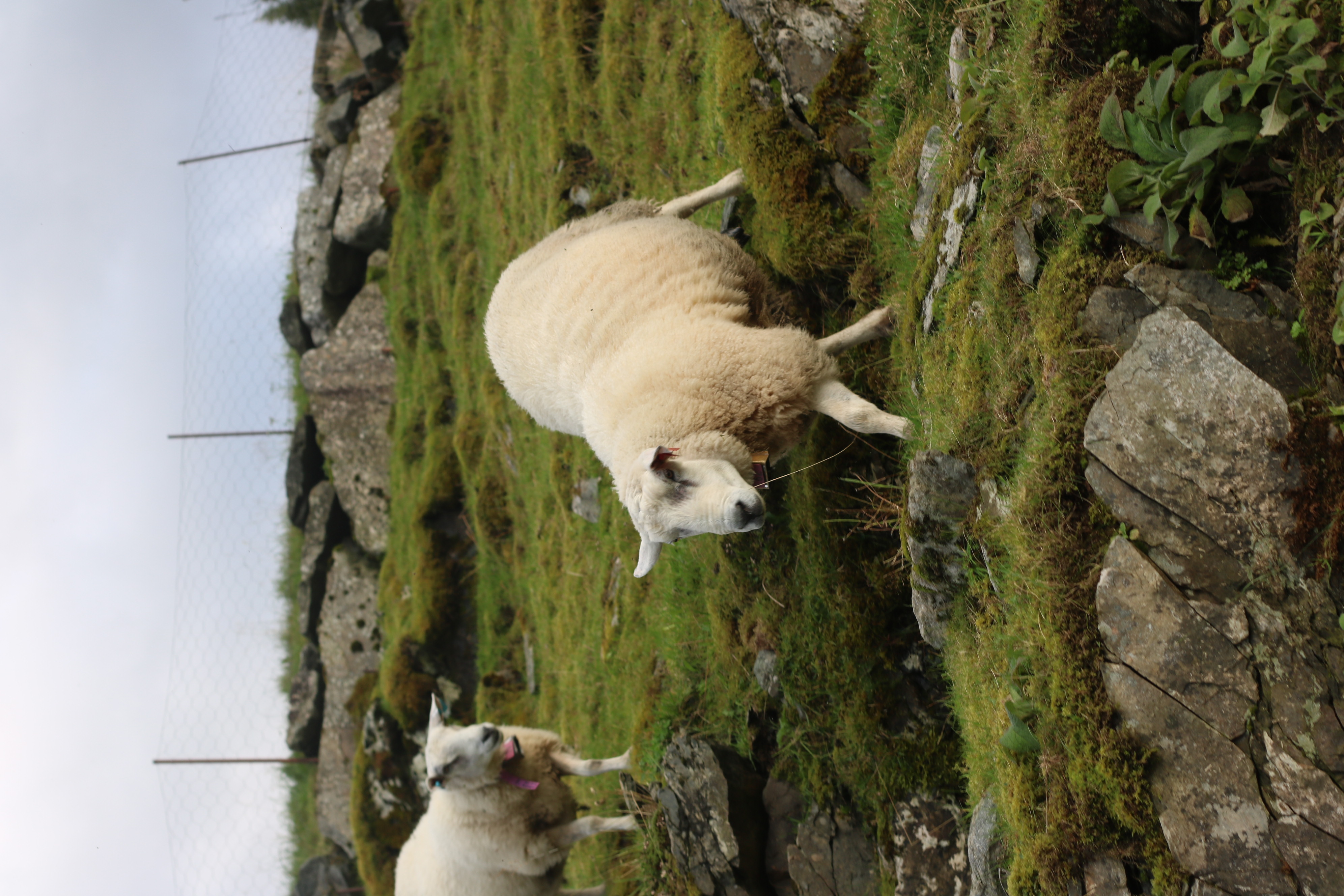 Sheep in Herand 2