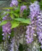 Wisteria when in bloom.jpg