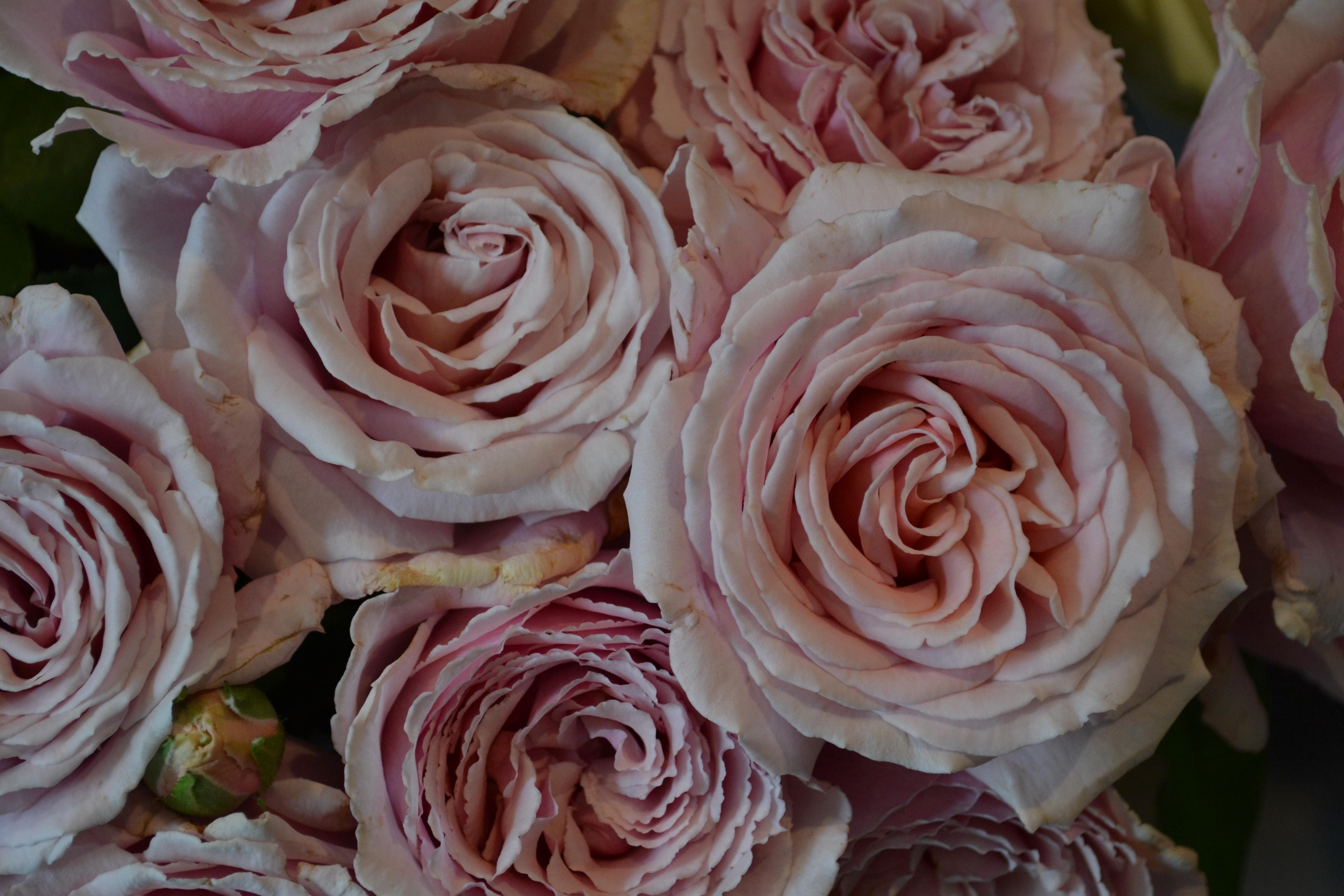 Tendres Roses