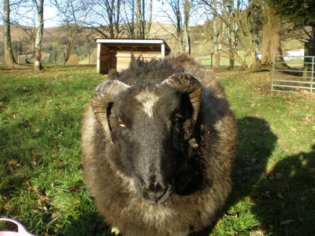 lamby2large