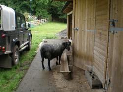 lambylarge
