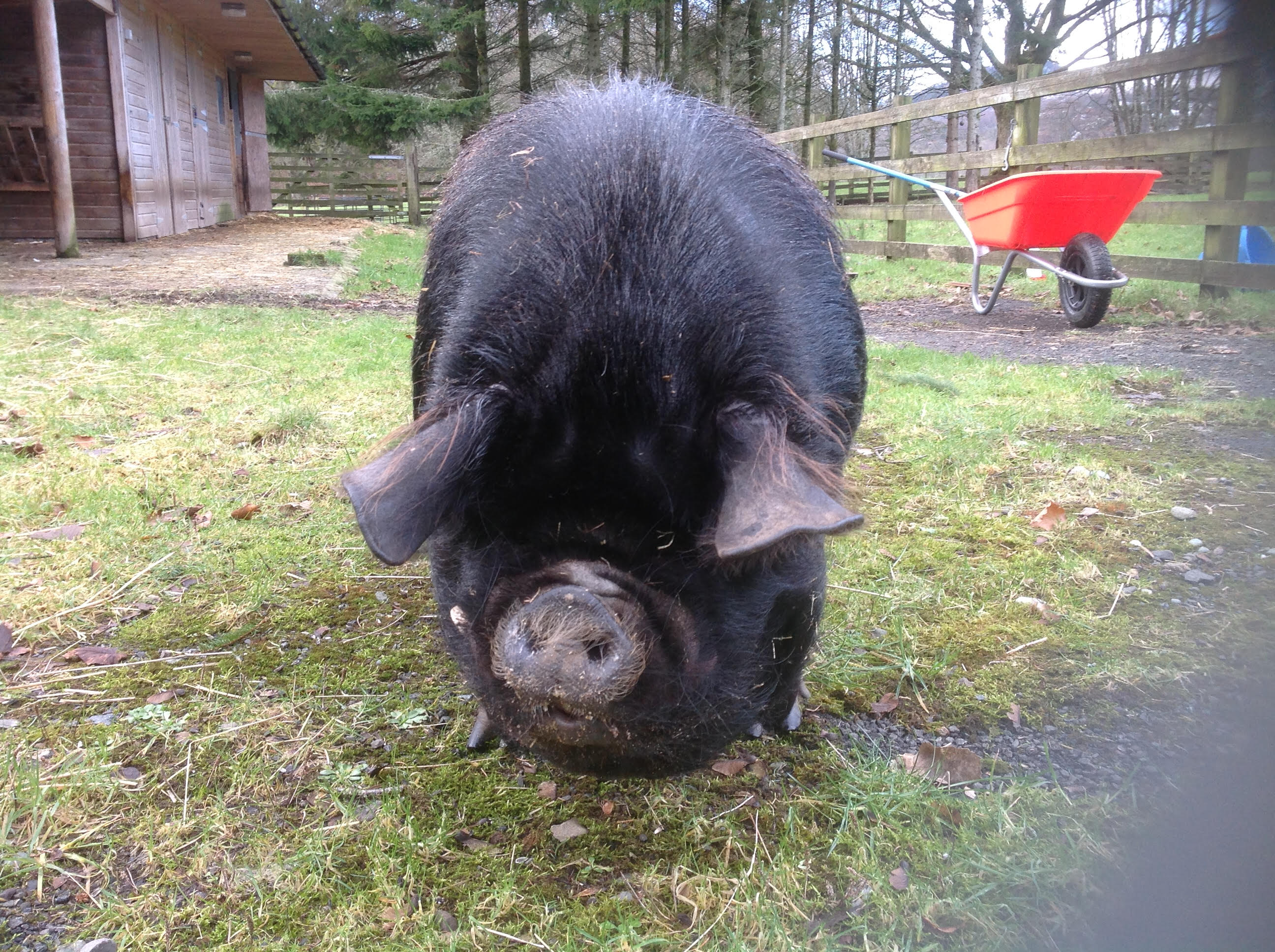 Shorty - Kune Pig