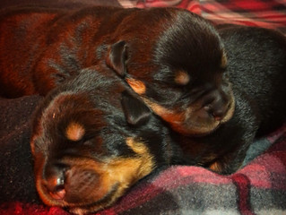 Jessie von der Alten Festung's puppies are born!!!