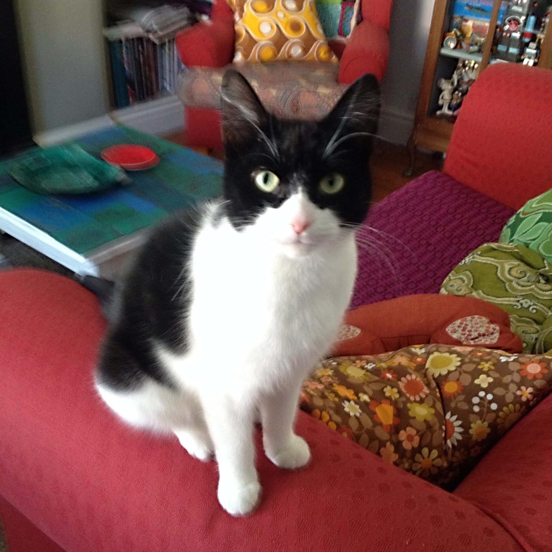 Blue (BeeBee) cat - Kay Widdowson.jpg