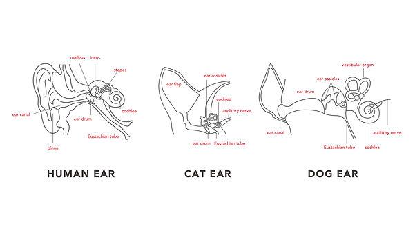 ear anatomy.jpg