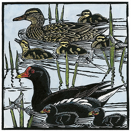 Moorhens, Mallards and Mayflies