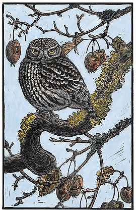 'Crabby' Little Owl