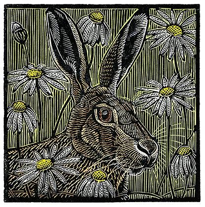 Meadow Hare