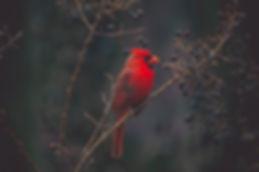 cardinal_edited.jpg